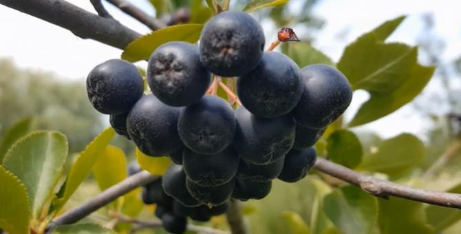 Fructul ANTICANCER, testat împotriva SARS-COV-2