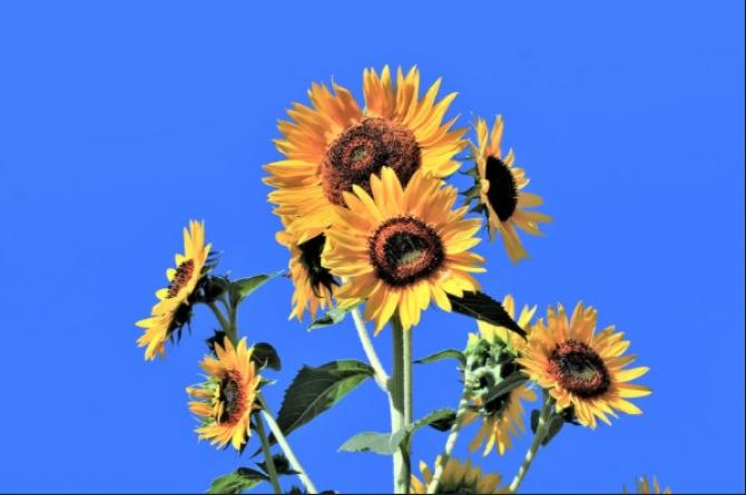 România ocupă constant din anul 2015 primul loc în Uniunea Europeană la producţia de floarea-soarelui, dar şi la suprafaţa cultivată, iar potenţialul de export de seminţe este unul semnificativ