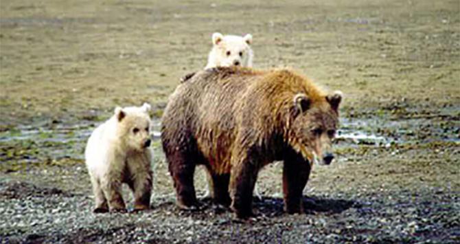 O nouă specie de urși