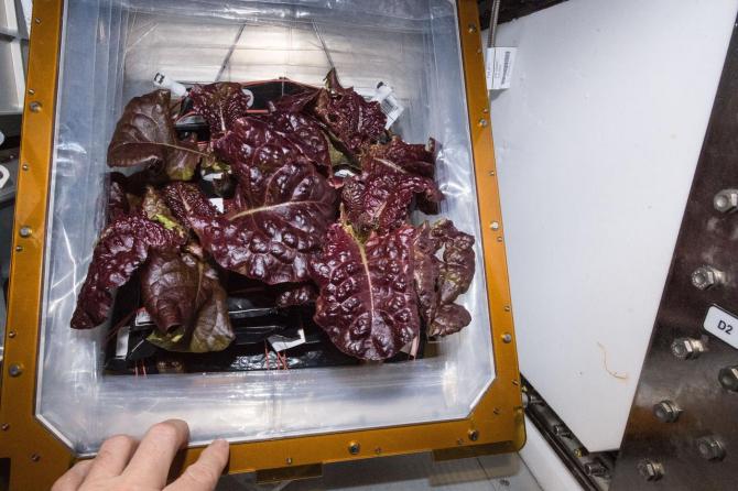 Salată cultivată pe Stația Spațială Internațională / Foto: NASA