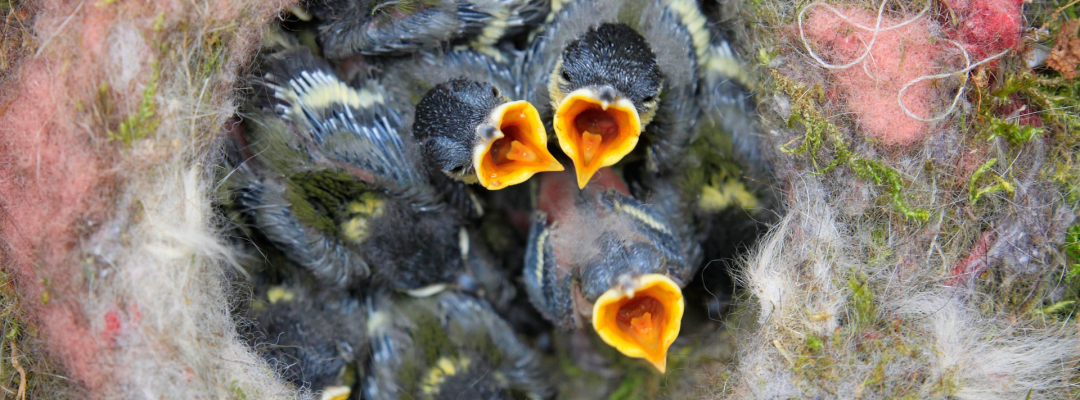 Cuib cu pui de pasăre
