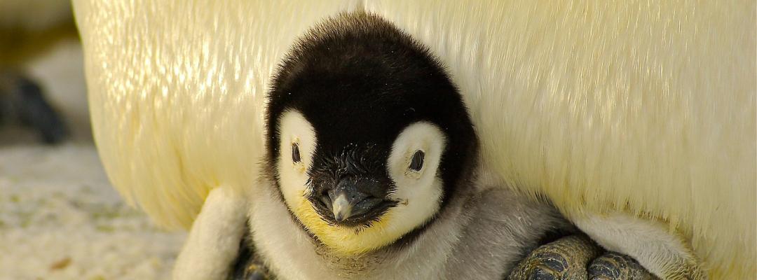 Pui de pinguin