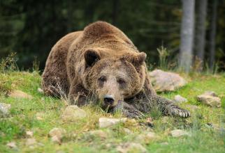 Se fac extrem de multe presiuni pentru a fi permisă vânătoarea de urși în România