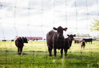 Inculpații făceau import fictiv de vite angus