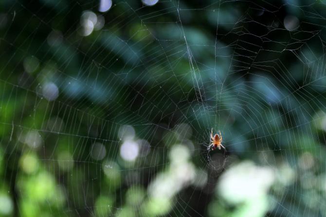 Steatoda nobilis, păianjenul care ia cu asalt Europa. Muşcătura sa poate avea efecte severe