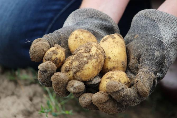 Recolta de cartofi din acest an nu va fi una mai bună decât cea de anul trecut