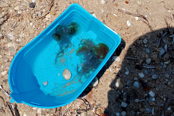 Meduzele abundă în apele greceși